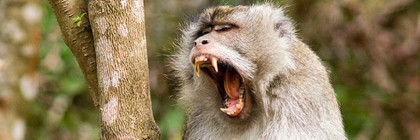 Macaque monkey screaming