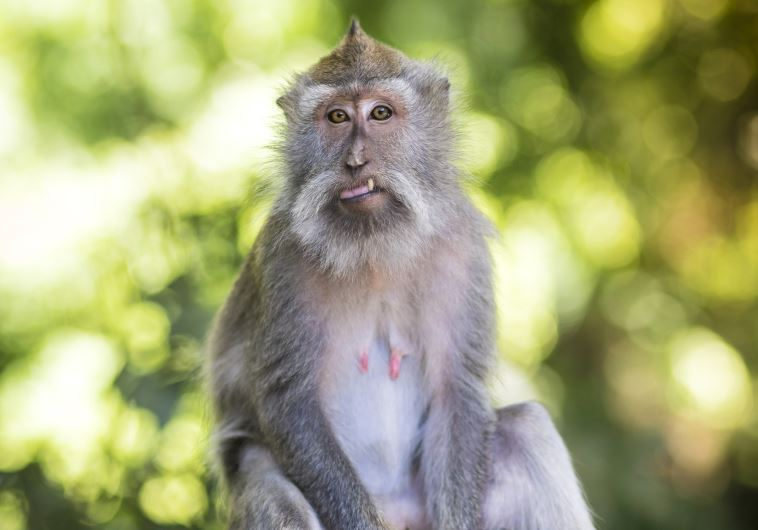 macaque monkey